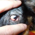 Nickhautdrüsenprolaps (= Cherry Eye)